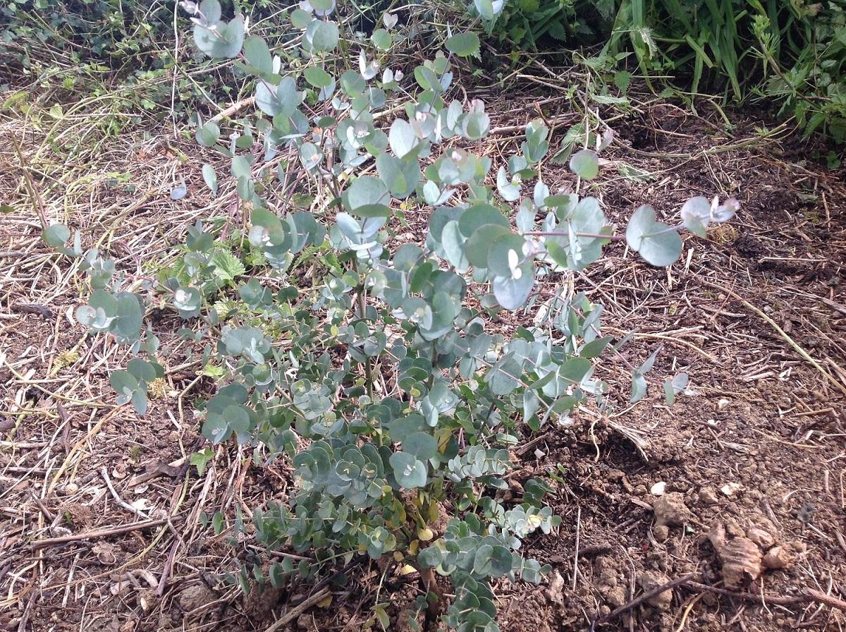 Un eucalyptus pour le nord