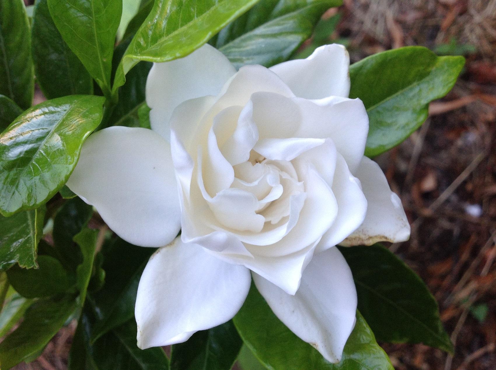 Un gardenia au jardin