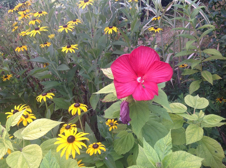 hibiscus des marais le jardin d 39 pices. Black Bedroom Furniture Sets. Home Design Ideas