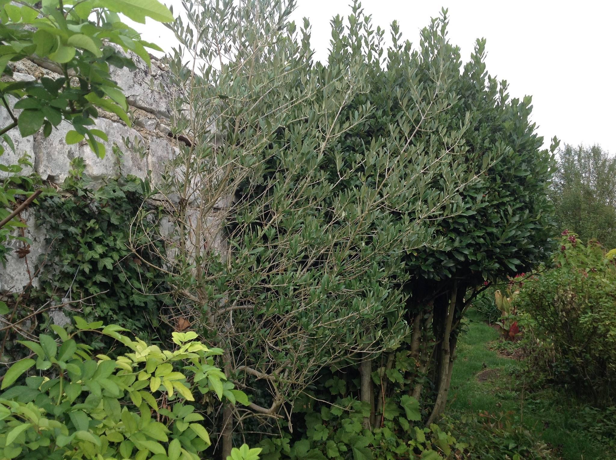 Un olivier pour le nord le jardin d 39 pices for Jardin olivier